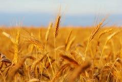 Giacimento del cereale pronto per la raccolta fotografia stock libera da diritti