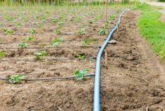 Giacimento del cetriolo che cresce con il sistema dell'irrigazione a goccia Fotografie Stock