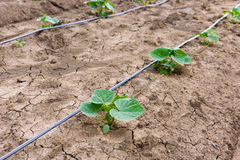 Giacimento del cetriolo che cresce con il sistema dell'irrigazione a goccia Immagine Stock Libera da Diritti