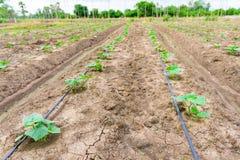 Giacimento del cetriolo che cresce con il sistema dell'irrigazione a goccia Fotografia Stock