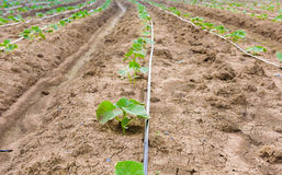 Giacimento del cetriolo che cresce con il sistema dell'irrigazione a goccia Immagine Stock