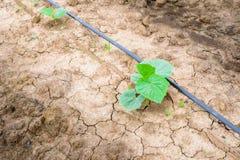 Giacimento del cetriolo che cresce con il sistema dell'irrigazione a goccia Immagini Stock