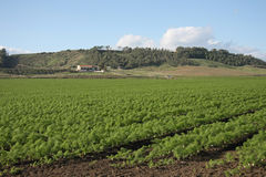 Giacimento del finocchio in Calabria, Italia Fotografia Stock Libera da Diritti