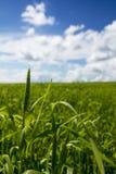 Giacimento del frumento autunnale Agricoltura - maturare il raccolto del frumento autunnale Fotografia Stock Libera da Diritti