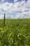 Giacimento del frumento autunnale Agricoltura - maturare il raccolto del frumento autunnale Immagini Stock Libere da Diritti