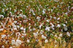 Giacimento del germoglio del cotone Fotografie Stock Libere da Diritti