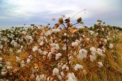 Giacimento del germoglio del cotone Immagini Stock