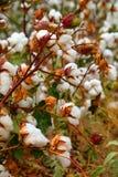 Giacimento del germoglio del cotone Fotografia Stock Libera da Diritti
