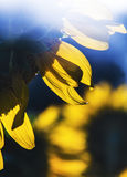 Giacimento del girasole Fotografie Stock Libere da Diritti