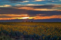 Giacimento del girasole al tramonto in Colorado Fotografia Stock