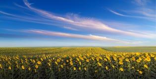 Giacimento del girasole all'alba accanto al giacimento della soia nella fase di fioritura Fotografia Stock
