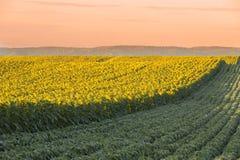 Giacimento del girasole all'alba accanto al giacimento della soia nella fase di fioritura Immagini Stock