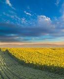 Giacimento del girasole all'alba accanto al giacimento della soia nella fase di fioritura Immagine Stock