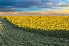 Giacimento del girasole all'alba accanto al giacimento della soia nella fase di fioritura Fotografie Stock