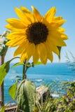 Giacimento del girasole Girasole con cielo blu ed il mare in backgoru Fotografia Stock