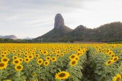Giacimento del girasole con il fondo della montagna, fondo naturale del paesaggio Immagine Stock