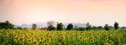 Giacimento del girasole con il tramonto ed il chiaro cielo Fotografia Stock Libera da Diritti