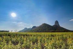 Giacimento del girasole con la montagna ed il sole Immagini Stock