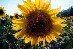 Giacimento del girasole con le api Fotografia Stock