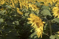 Giacimento del girasole con le fioriture alla luce solare di primo mattino Immagini Stock Libere da Diritti