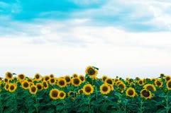 Giacimento del girasole di estate Campo dei girasoli con cielo blu Un giacimento del girasole al tramonto Immagini Stock Libere da Diritti