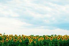 Giacimento del girasole di estate Campo dei girasoli con cielo blu Un giacimento del girasole al tramonto Fotografia Stock