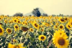 Giacimento del girasole di estate Campo dei girasoli con cielo blu Un sole Immagini Stock Libere da Diritti