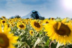 Giacimento del girasole di estate Campo dei girasoli con cielo blu Un sole Fotografie Stock