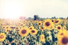 Giacimento del girasole di estate Campo dei girasoli con cielo blu Un sole Immagine Stock