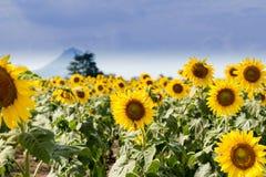 Giacimento del girasole di estate Campo dei girasoli con cielo blu Un sole Immagine Stock Libera da Diritti