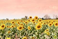 Giacimento del girasole di estate Campo dei girasoli con cielo blu Un sole Fotografia Stock Libera da Diritti
