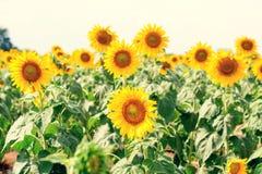 Giacimento del girasole di estate Campo dei girasoli con cielo blu Un sole Fotografie Stock Libere da Diritti