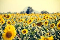Giacimento del girasole di estate Campo dei girasoli con cielo blu Un sole Fotografia Stock
