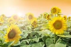Giacimento del girasole di estate, tramonto Fotografia Stock