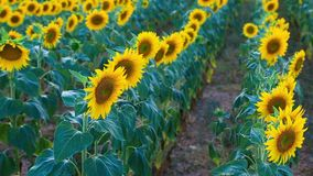 Giacimento del girasole di estate in Valensole stock footage