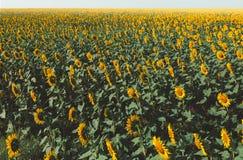 Giacimento del girasole e paesaggio gialli del cielo Concetto di agricoltura della campagna Fotografie Stock Libere da Diritti