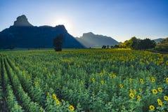 Giacimento del girasole e valle della montagna nella centrale di lopburi del thaila Fotografia Stock