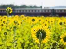Giacimento del girasole e vecchio treno Fotografia Stock
