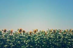 Giacimento del girasole in estate fotografia stock libera da diritti