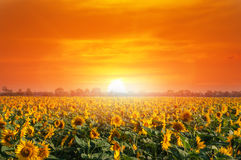 Giacimento del girasole nei raggi del sole caldo di estate Fotografia Stock Libera da Diritti