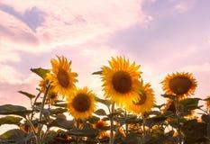 Giacimento del girasole nei raggi del sole caldo di estate Immagini Stock