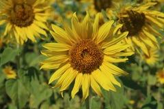 Giacimento del girasole nel giorno soleggiato Fotografia Stock