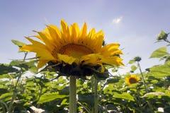 Giacimento del girasole sopra cielo blu nuvoloso Girasole, girasole che fiorisce, giacimento del girasole Immagine Stock