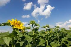 Giacimento del girasole sopra cielo blu nuvoloso Girasole, girasole che fiorisce, giacimento del girasole Fotografia Stock
