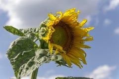 Giacimento del girasole sopra cielo blu nuvoloso Girasole, girasole che fiorisce, giacimento del girasole immagini stock