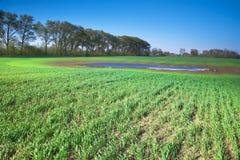 Giacimento del grano primaverile Immagine Stock Libera da Diritti