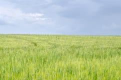 Giacimento del grano primaverile Immagine Stock