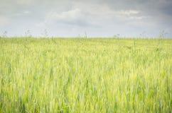 Giacimento del grano primaverile Fotografie Stock Libere da Diritti