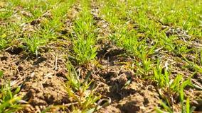 Giacimento del grano primaverile, piccole plantule che si muovono nel vento Il grano mobile va dalla brezza irregolare, molla nel stock footage