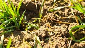 Giacimento del grano primaverile, piccole plantule che si muovono nel vento Il grano mobile va dalla brezza irregolare, molla nel video d archivio